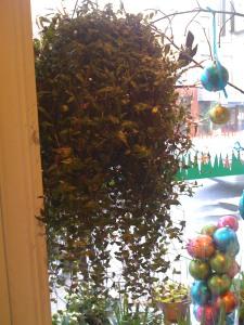 hanging-plant