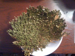 rose-of-jericho5